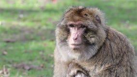 Piękni małpy zakończenia Up - Barbary makaki Algieria & Maroko zbiory wideo