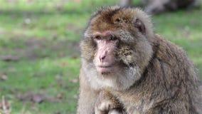 Piękni małpy zakończenia Up - Barbary makaki Algieria & Maroko zdjęcie wideo