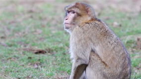 Piękni małpy zakończenia Up - Barbary makaki Algieria & Maroko zbiory