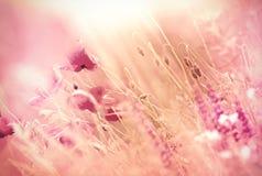 Piękni maczków kwiaty Zdjęcia Stock