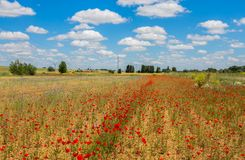 Piękni maczków pola z wysokim woltażu powerline przekazem górują Fotografia Royalty Free