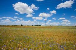 Piękni maczków pola z wysokim woltażu powerline przekazem górują Obrazy Royalty Free