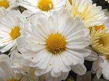 Piękni Makro- Białej stokrotki kwiaty obraz stock