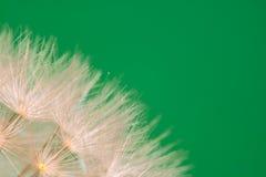 Piękni makro- miękcy słupkowie dandelion podkreślający tekstura wzór z kopii przestrzenią obraz stock