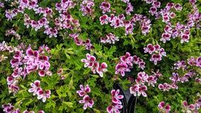 Piękni mali kolorowi czerwieni i bielu okwitnięcia zdjęcia stock