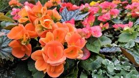 Piękni mali kolorowi pomarańcz okwitnięcia fotografia royalty free