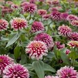 Piękni menchia kwiaty Zdjęcia Royalty Free