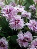 Piękni menchia kwiaty - goździk /Dianthus Obrazy Stock