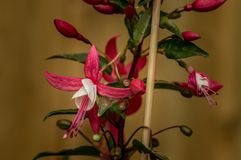 Piękni menchii i bielu fuksi kwiaty w naturalnym położeniu, zamykają up, w pełnym kwiacie i używać płyciznę de obrazy stock