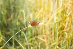 Piękni motyle siedzą na kolcu wheaten pole fotografia royalty free