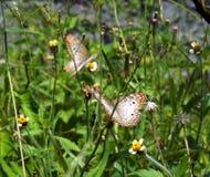 Piękni motyle wśród ogrodowych kwiatów Zdjęcia Stock