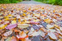 Piękni multicolor jesień liście jako tło Sezon Jesienny Kolorowi liście z podeszczowymi kroplami na zmroku moczą asfalt zdjęcie stock