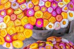 Piękni narastający strawflowers Fotografia Royalty Free