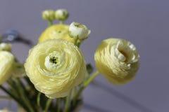 Piękni naturalni biali, jasnożółci kwiaty z szarym tłem/ Obraz Stock