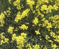 Piękni naturalni kwiaty - żółty kolor Obraz Royalty Free