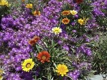 Piękni naturalni kwiaty - kolorowy kolor żółty, czerwień, purpura Zdjęcie Royalty Free
