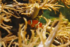 Piękni Ocellaris clownfish Amphiprion ocellaris, także znać jako błazenu anemon w siedlisku obraz stock
