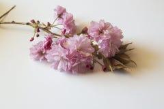 Piękni Ornamentacyjni Kwanzan Czereśniowego drzewa kwiaty odizolowywający na whit fotografia royalty free
