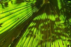 Piękni palmowi liście drzewo w świetle słonecznym Abstrakcjonistyczna tropikalna palma Obrazy Royalty Free