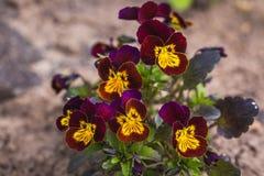 Piękni pansy kwiaty, zbliżenie Obrazy Stock