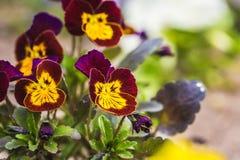 Piękni pansy kwiaty, zbliżenie Zdjęcia Stock