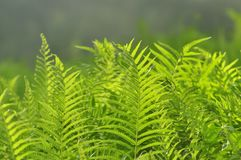 Piękni paproć liście zielenieją ulistnienia naturalnego kwiecistego paprociowego backgro obraz royalty free