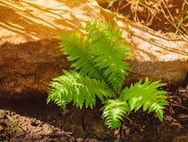 Piękni paproć liście zielenieją ulistnienia naturalnego kwiecistego paprociowego tło w świetle słonecznym Zdjęcie Royalty Free