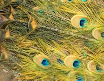 Piękni pawi piórka jako tło Zdjęcie Royalty Free