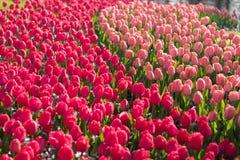 Piękni pełnego kwiatu kolorów różnorodni tulipany w słonecznym dniu w holandiach Fotografia Stock