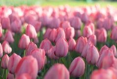 Piękni pełnego kwiatu kolorów różnorodni tulipany w słonecznym dniu w holandiach Fotografia Royalty Free