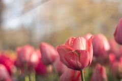 Piękni pełnego kwiatu kolorów różnorodni tulipany w słonecznym dniu w holandiach Obrazy Royalty Free