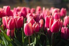 Piękni pełnego kwiatu kolorów różnorodni tulipany w słonecznym dniu w holandiach Obrazy Stock