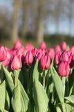 Piękni pełnego kwiatu kolorów różnorodni tulipany w słonecznym dniu w holandiach Zdjęcia Royalty Free