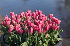 Piękni pełnego kwiatu kolorów różnorodni tulipany w słonecznym dniu w holandiach Obraz Stock