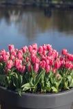 Piękni pełnego kwiatu kolorów różnorodni tulipany w słonecznym dniu w holandiach Zdjęcia Stock