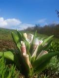 Piękni pieniędzy kwiaty Zdjęcie Royalty Free