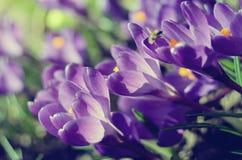 Piękni pierwszy wiosna kwiatów krokusy kwitną pod jaskrawym światłem słonecznym Rocznik filtrujący układ Wiosna wakacji tło Obraz Royalty Free