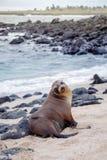 Piękni pokojowi denni lwy sunbathing w plaży przy Galapagos wyspami, Ekwador fotografia stock
