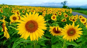 piękni pola krajobrazu lato słoneczniki obraz royalty free