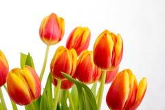 Piękni pomarańczowej czerwieni tulipany na czystym białym tle Obraz Stock