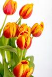 Piękni pomarańczowej czerwieni tulipany na czystym białym tle Obrazy Stock