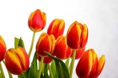 Piękni pomarańczowej czerwieni tulipany na czystym białym tle Obraz Royalty Free
