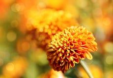 Piękni pomarańczowi chryzantema kwiaty, bokeh & obraz stock