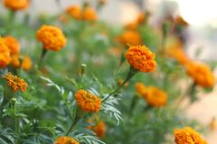 Piękni pomarańczowi nagietków kwiaty Zdjęcie Royalty Free