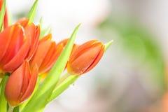 Piękni Pomarańczowi tulipany Zdjęcie Royalty Free