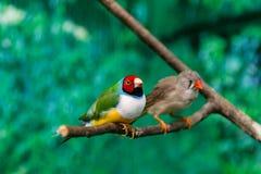 Piękni ptaka Guldova Amadina Erythrura gouldiae siedzi dalej zdjęcia royalty free