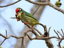 Piękni ptaki w Tajlandia Jak jeść dojrzałą owoc I dużo one są w parach Obrazy Stock