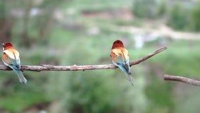 Piękni ptasi zjadacze huśtają się na gałąź i latają zbiory