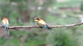 Piękni ptasi zjadacze siedzą na gałąź i latają zbiory wideo