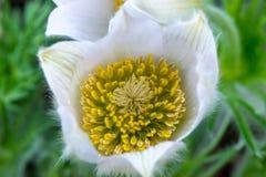 Piękni Pulsatilla vernalis - wczesna wiosna zdjęcia stock